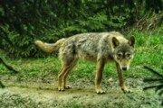 Fotografia vlka je zachytená fotopascou od organizácie Hnutí DUHA Olomouc.