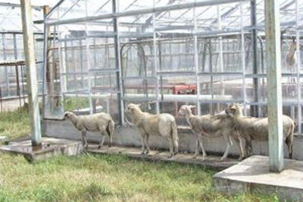 Ovce sú známe svojou nenáročnosťou na pastvu. Dúfame však, že ľudia ich nebudú chovať v skleníkoch.