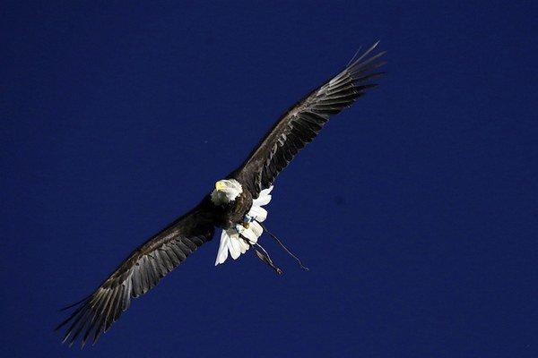 Orlovi v Austrálii sa nepáčil dron, tak ho zhodil.