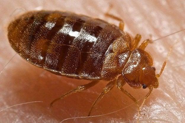 Ploštica je drobný bezkrídly hmyz hrdzavohnedej farby.