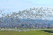 Sťahovanie vtákov.