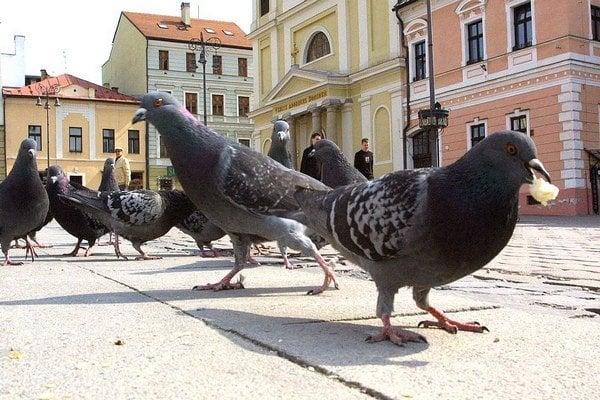 Premnoženie holubov je už dlhodobo problém.