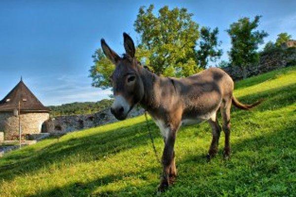 Oslík Miki je atrakciou Trenčianskeho hradu už tretie leto.