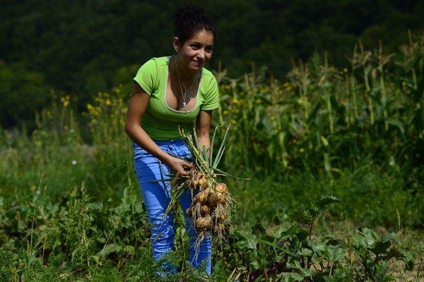Pretvoriť Rómov na šikovných farmárov sa podarilo občianskemu združeniu Svatobor. Pracuje s nimi už desať rokov v Hanušovciach nad Topľou a v neďalekom Rudlove. Hanušovce nad Topľou, 7. august 2015.