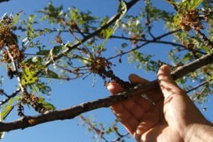 Takto vyzerajú mnohé ovocné stromy v regióne okolo Novej Bane.