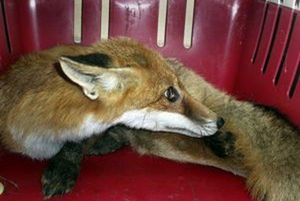 Líška mimo lesa môže pre ľudí predstavovať nebezpečenstvo.