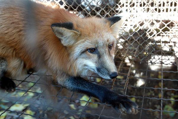 Líšky si zvykli na ľudské kŕmenie a prestali sa ľudí báť.