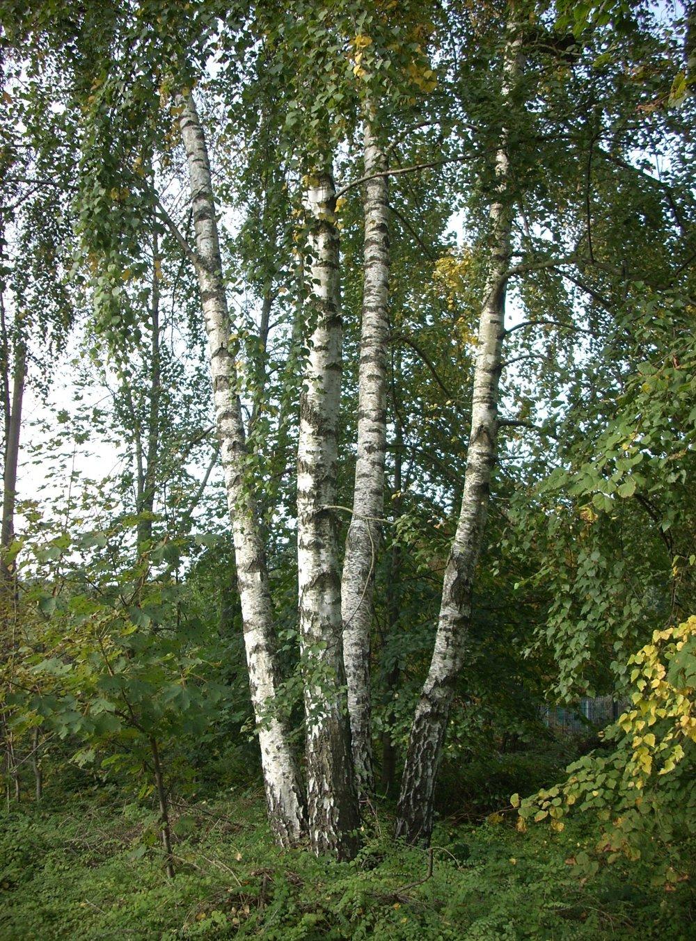 Breza (Betula) - miazga je voda, ktorú korene ťahajú zo zeme a filtrujú ju a obohacujú o živiny. Tečie intenzívne do pukov v marci - preto v mnohých staroslovanských jazykoch marec je pomenovaný podľa brezy - aj v češtine či v ukrajinčine. Je to sladká šťava, cenná a zdraviu prospešná. Obsahuje množstvo vitamínov a minerálnych látok  (K, Ca, Mg, Mn, Cu a FE, vitamín C, aminokyseliny). Má detoxikačné účinky, omladzuje, pomáha pri chudnutí. Používa sa proti anémii, artritíde, dne, reumatizme a bežných prechladnutiach. Čistí obličky a pečeň, blahodárne účinky má aj na kĺby a imunitu. Stromy ťahajú aj stovky litrov hore do listov. Aj lipa a buk majú dobrú miazgu, ale breza je najchutnejšia a najľahšie sa zbiera.