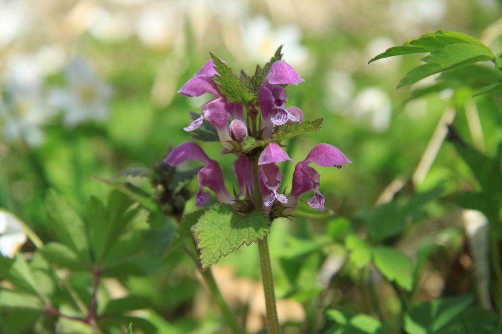 Hluchavka (Lamium spp.) - nie je až taká aromatická. Pripravuje sa ako špenát, malé množstvo sa môže pridať do smoothies. Je neutrálna. Jej kvety zo sladkého peľu rady vycuciavajú deti. Listy aj kvety sú jedlé surové, aj keď nie sú až také chutné ako iné dostupné jarné rastliny. Hluchavka sa kedysi pridávala do polievok.