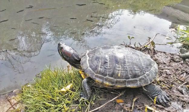 Aj takéto veľké korytnačky v súčasnosti žijú v jazierku.