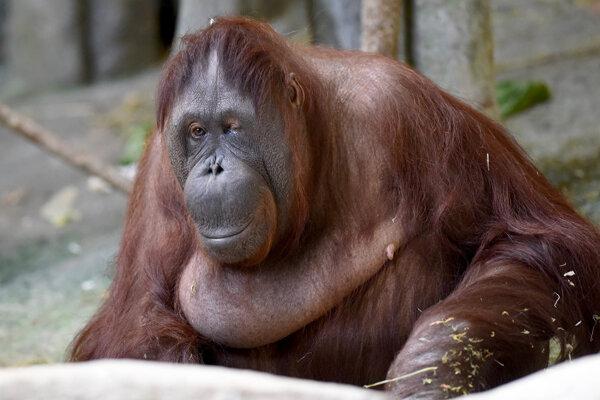 Samica orangutana Maggie.