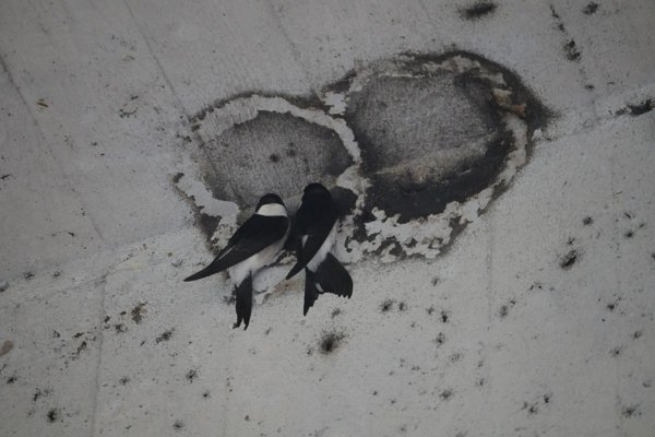 Belorítky si pod Mostom SNP hľadajú svoje hniezda a snažia sa ich postaviť nanovo.
