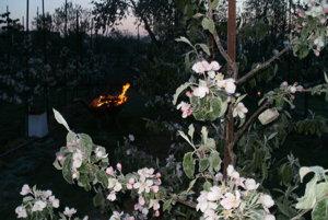 Tentoraz ovocné stromy pred mrazmi neochránilo ani kúrenie a zadymovanie.