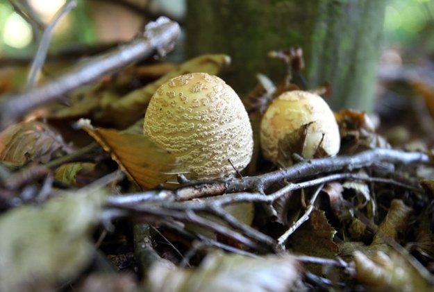 Táto huba podľa mykológa nie je jedovatá, dokonca patrí medzi najchutnejšie huby.
