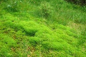 Rašelinníky tvoria husté sviežozelené koberce na zamokrených lúkach, ale aj v lesoch a okolo potokov.