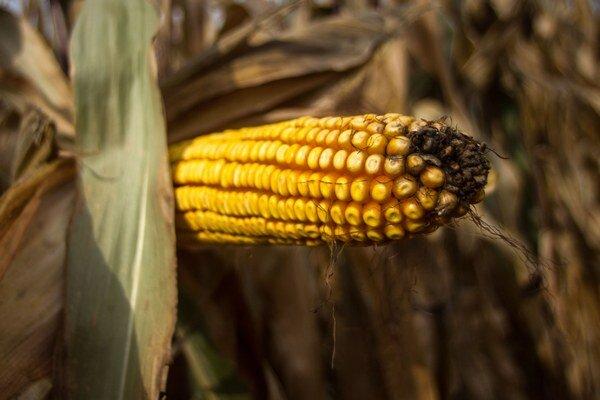 Vstupnou surovinou do prevádzky bude kukurica.