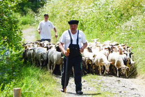 Redikaňä oviec¶. Odchod oviec na salaš.