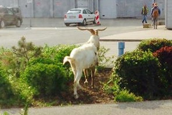 Vystrašená koza pobehovala v piatok pri Optime. Upútala pozornosť okoloidúcich