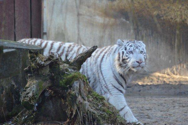 Biely tiger Salim, ktorý sa v Košiciach aklimatizuje po príchode z bratislavskej zoo.