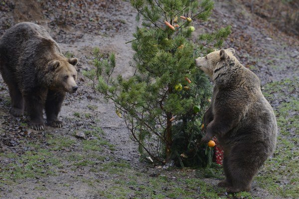 Medvede pri vianočnom stromčeku.