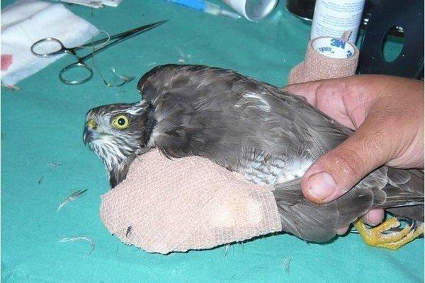 Zranený jastrab zo Spiša. V Košiciach mu krídlo ošetrili.