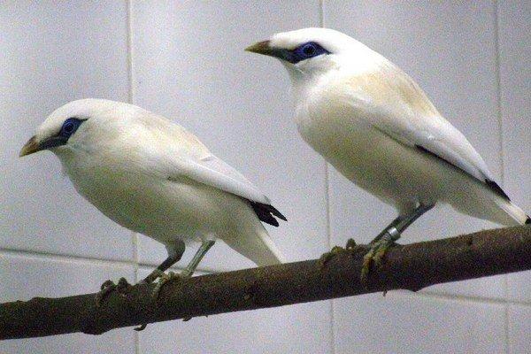 Vzácne spevavce. Majny Rothschildove patria ku kriticky ohrozeným vtákom.