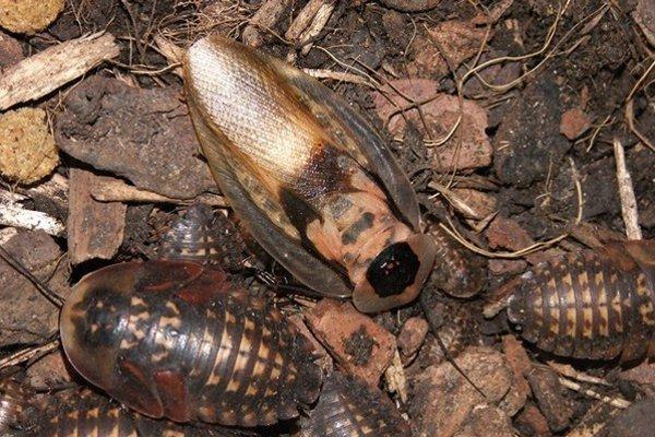 Jeden z najväčších švábov sveta je novým prírastkom zoo v Kavečanoch.