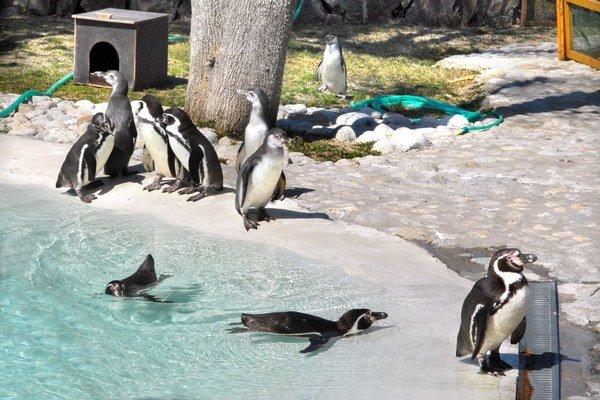 Bielo-čierne krásavce patria k najväčším lákadlám návštevníkov.