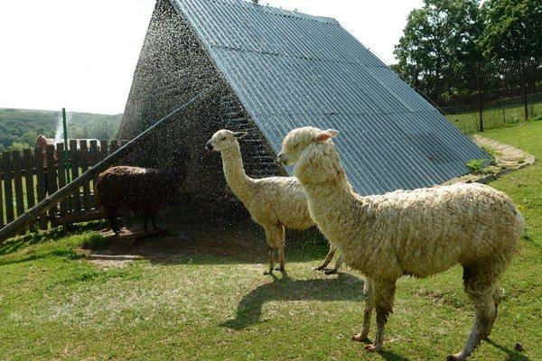Lamy alpaky v košickej zoo.