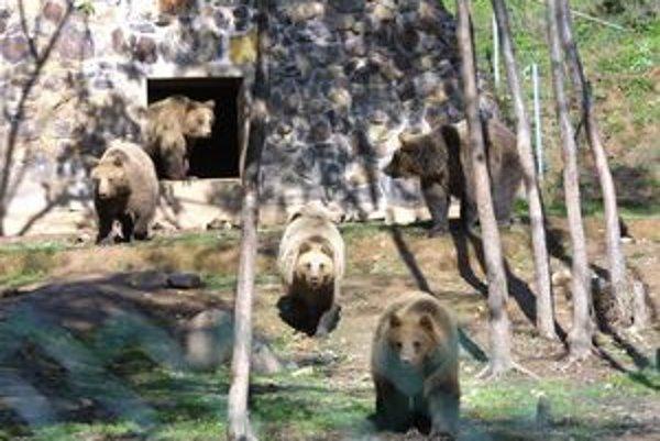 Medvedia rodina. Takto si nažívali piati medvedí súrodenci, keď boli ešte všetci pohromade.