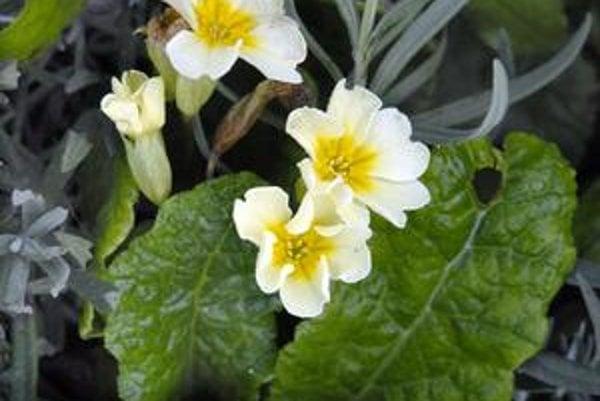 Primulky. Veronike rozkvitli v záhrade na Opátskom.