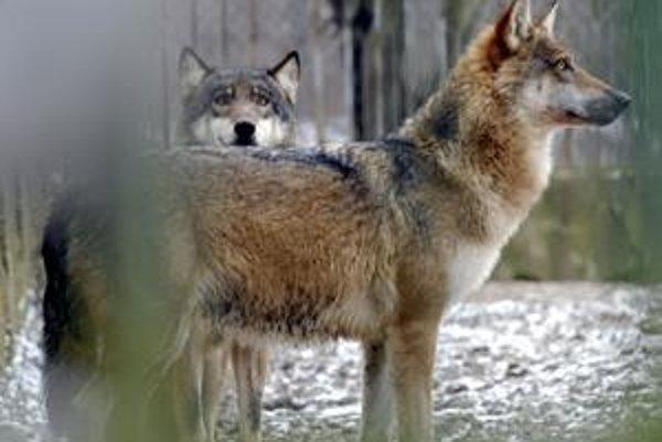 Migrácia zveri. Vlci sa sťahujú dolu. Láka ich srnčia zver.
