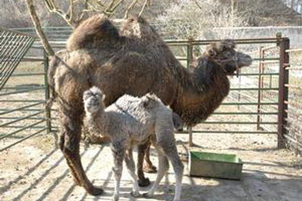 Ťaví samček Toudy. Je prvým mláďaťom, ktoré sa v košickej zoo v tomto roku narodilo.