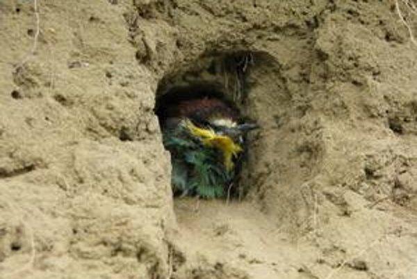Zo 40 párov zostali 10. Vandali včelárikov zamurovali zaživa. Ochranári už našli len mŕtve vtáky.