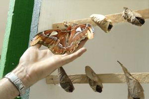 Atacus Atlas. To je on. Najväčší motýľ planéty. Motýliu šou napokon neprespal.
