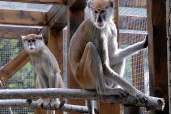 Mačiaky husárske prišli do zoo len nedávno z Miskolca. Cítia sa ako doma.