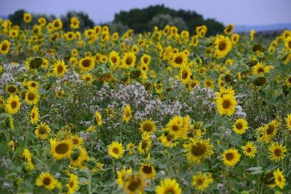 Zaburinené slnečnicové pole na kraji obce Janovík v okrese Prešov pri ceste z Lemešian. Slnečnice tu väčšinou dosahujú výšky ani nie jedného metra. Stav tohto poľa kontrastuje s neďalekými slnečnicovými poľami pri obci Lemešany, ktoré sú už väčšinou odkvi
