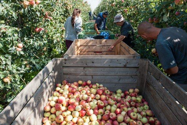 Zber skorých zimných jabĺk v ovocnom sade pri obci Cabaj-Čápor v okrese Nitra.