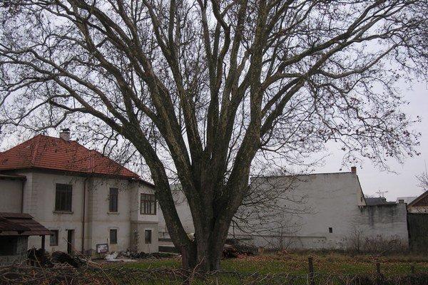 Platan stojí v záhrade poniže Floriánovej brány.