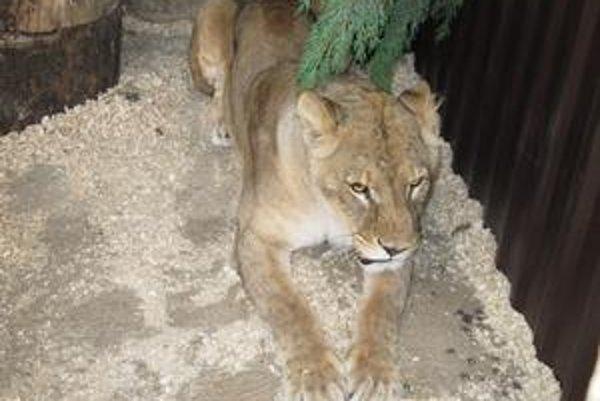 Možno vymení v logu ZOO parku legendárneho tigra Danyho.