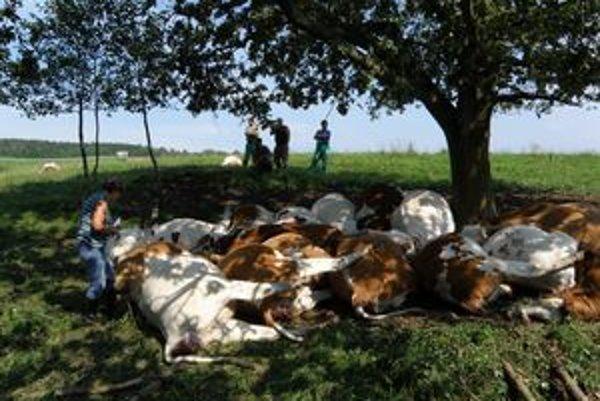 Blesk pozabíjal kravy na paši na lúke.