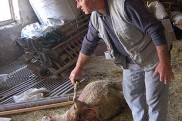 Skántrené ovce. Chovatelia sa obávajú ďalších útokov.