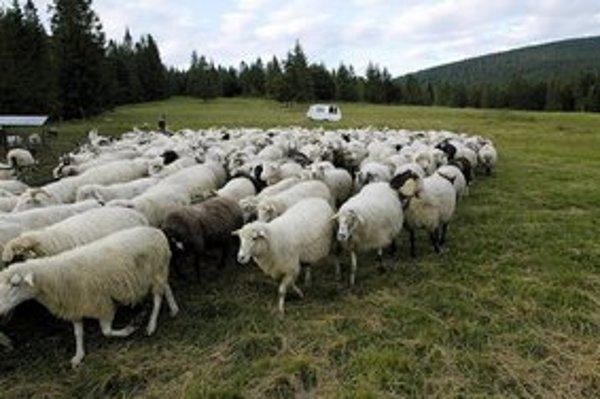 Na salaši. Jahniatka ešte nedávno dojčili ovce.