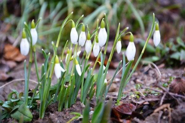 Snežienka jarná. Ohlasuje koniec zimy apríchod jari.