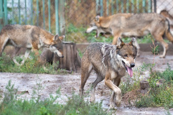 Vlci zaútočili na dobytok. Za niekoľko dní usmrtili 14 zvierat vo Vyšnej Slanej.