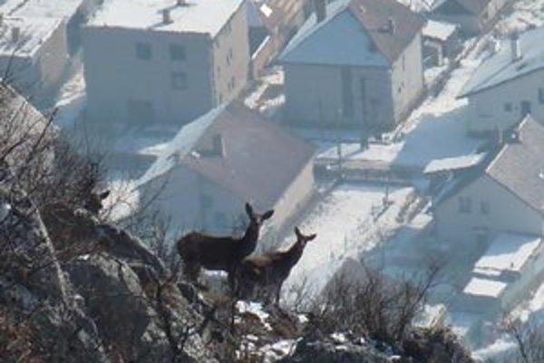 Lesná zver. Pravidelne navštevuje obec.