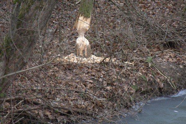 Stopy po bobrovi na Belovežskom potoku.