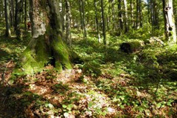 Karpatský bukový prales v NPR Stužica v Bukovských vrchoch.
