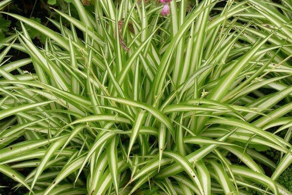 Zelenec chochlatý - Chlorophytum comosum