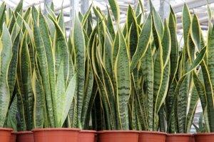 Sansevieria trojpásová - Sansevieria trifasciata - svokrin jazyk